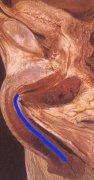 anatomia06