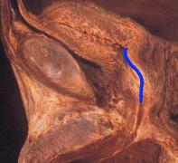 anatomia03