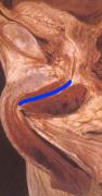 anatomia05