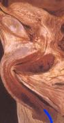 anatomia07